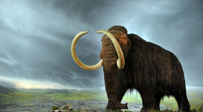 Woolly Mammoth, from the Royal BC Museum in Victoria (Canada). The display is from 1979, and the fur is musk ox hair